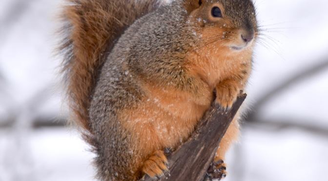 CELEBRATE National Squirrel Appreciation Day, January 21!